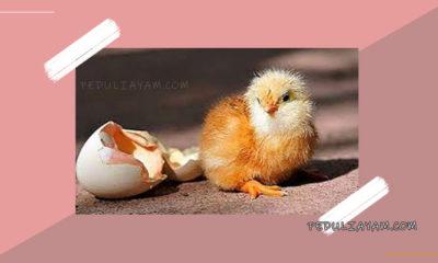 Perawatan Ayam Doc Umur 0 - 1 Bulan