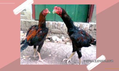 Tips Cetak Bibit Ayam Bangkok Bertulang Kuat Dan Kokoh