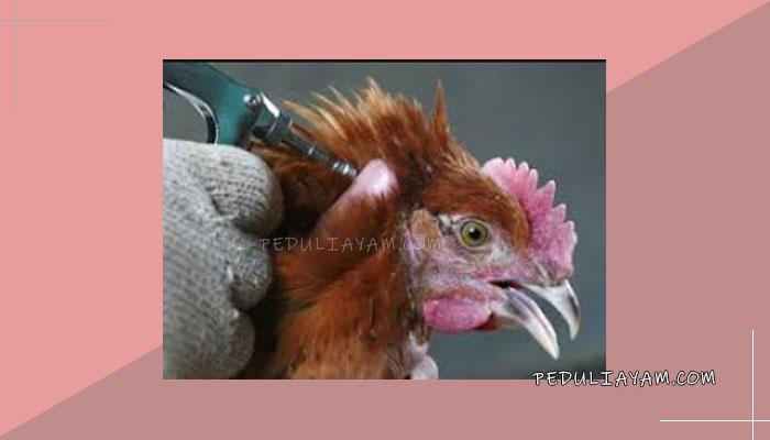 Mengobati Ayam Bangkok Lesu Dan Tidak Bertenaga