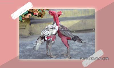 Apakah Ayam Saigon Cocok Untuk Di Adu?
