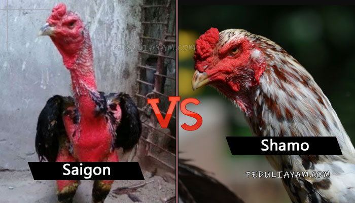 Ayam Shamo Lawan Ayam Saigon Mana Menang?