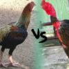 Ayam Birma Vs Ayam Saigon, Mana Lebih Bagus Gan?