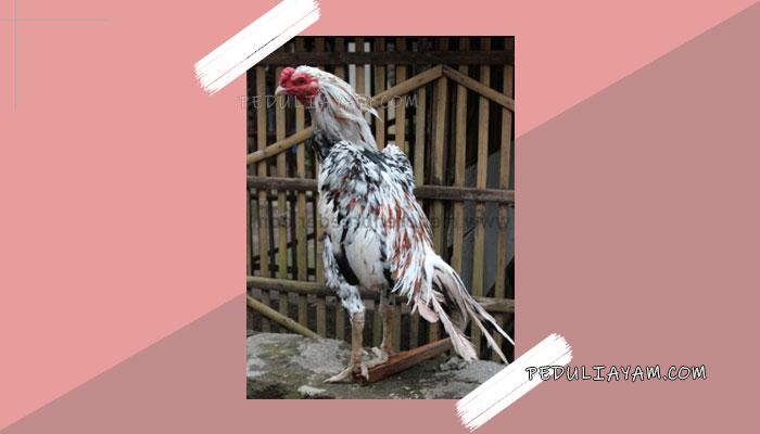 Kelebihan Serta Kekurangan Ayam Blorok Madu