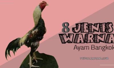 8 Warna Ayam Bangkok Yang Terbaik