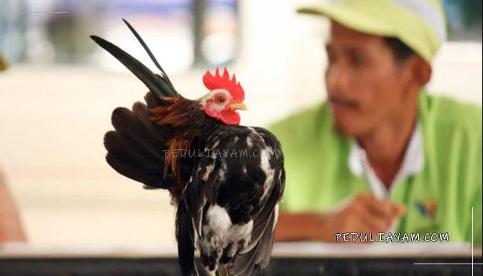 Yuk Ketahui Penilaian Yang Terdapat Di Lomba Ayam Serama