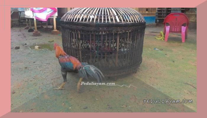 Ini langkah Melatih Ayam Laga Menangan Juara