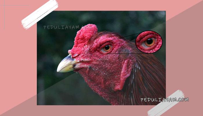 Mengobati Mata Ayam