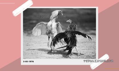 Hari Terbaik Adu Ayam Menurut Primbon Jawa