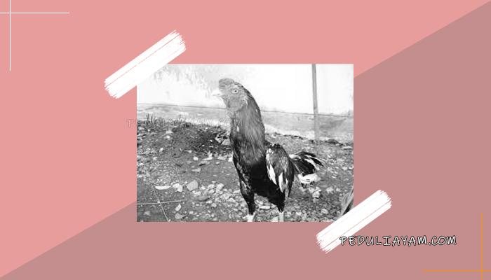 Mengenal Ayam Bima Kurda Petarung