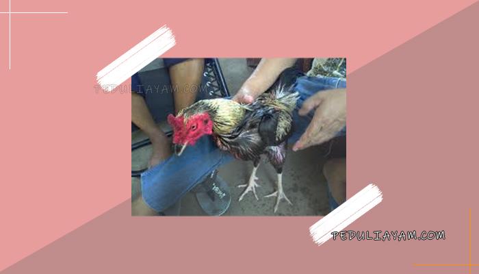 Latihan Tepat Keakuratan Pukulan Ayam Bangkok