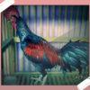 Mari Mengenal Ayam Hias Bekisar