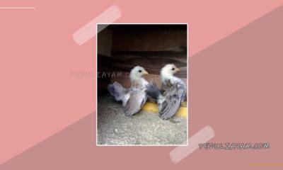 Pakan Ayam Hias Serama Umur 0 - 4 Bulan