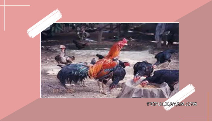 Kapan Waktu Induk Ayam Bangkok Siap Kawin