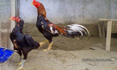 Tips Jodohkan Induk Ayam Bangkok Berkualitas