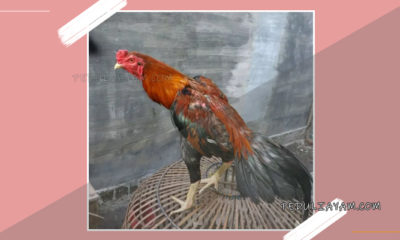 Ayam Laga Magon
