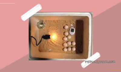 Suhu Yang Cocok Serta Pas Pada Mesin Tetas Telur