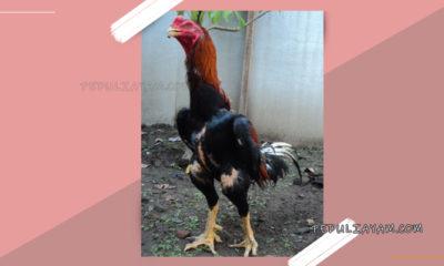 Mengatasi Ayam Bangkok Kelebihan Otot Atau Ayam Bantat