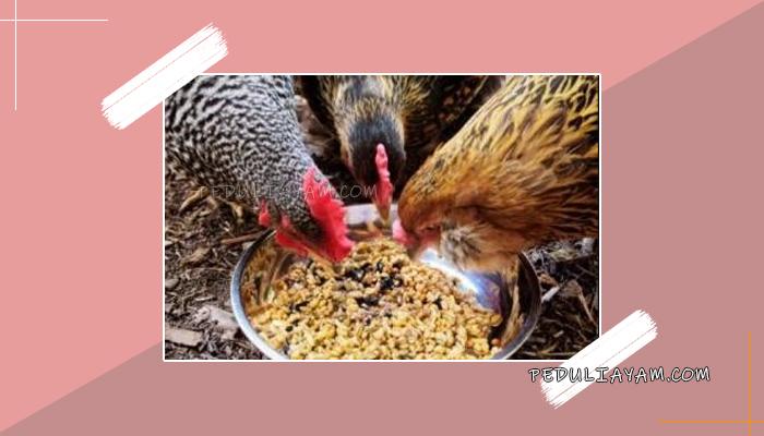 Membuat Sendiri Pakan Ransum Untuk Ayam Bangkok - PeduliAyam