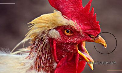 Mengobati Paruh Ayam Adu Agar Kembali Sempurna