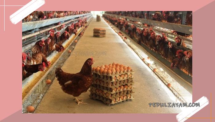 Tips Mencegah Ayam Mengerami Telurnya
