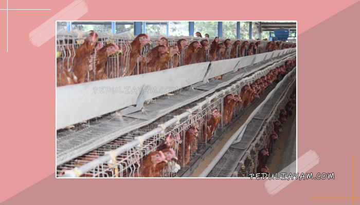 Modal Utama Dalam Memulai Bisnis Ternak Ayam