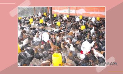 Langkah Menangkal Berbagai Penyakit Ayam Ternak
