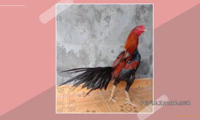 Mengenal Ayam Bangkok Ekor Lidi Serta Kelebihannya