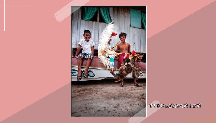 Cari Ayam Bangkok Super? Cek Artikel Ini