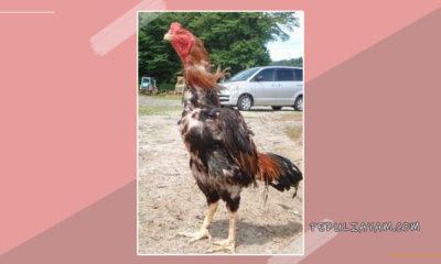 Ciri Khusus Ayam Shamo Berkualitas