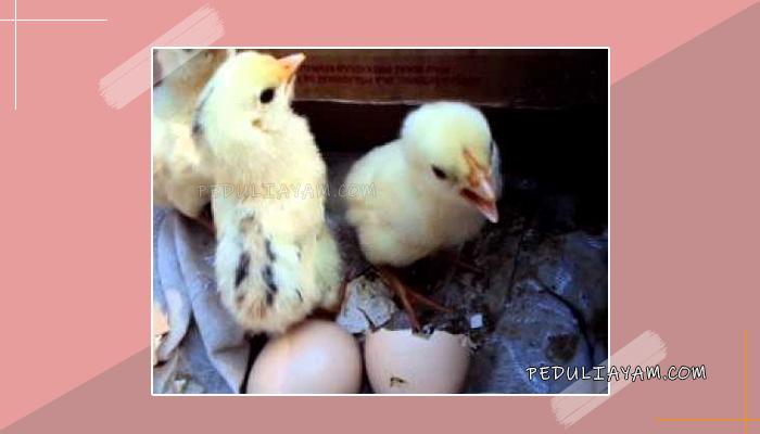 Cara Membedakan Jenis Kelamin Ayam Baru Tetas