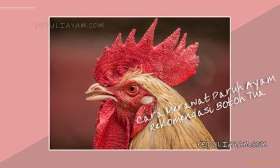 Cara Merawat Paruh Ayam Rekomendasi Botoh Tua