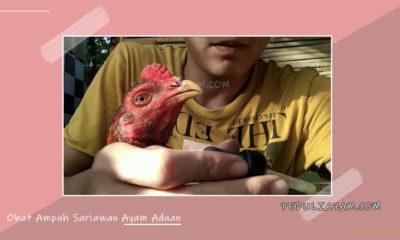 Obat Ampuh Sariawan Ayam Aduan