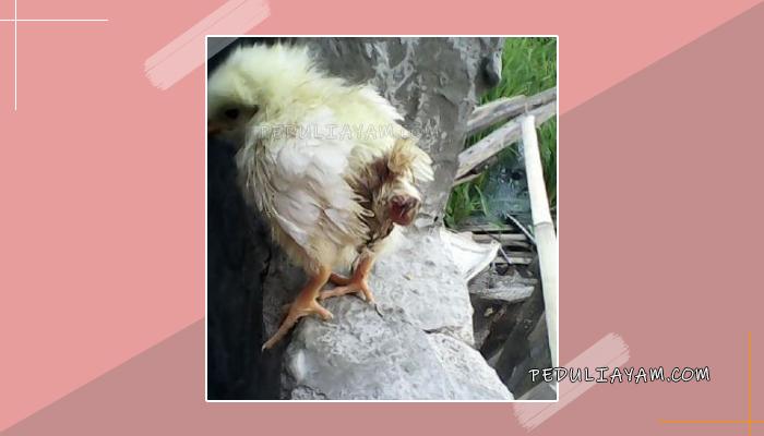 Beberapa Jenis Obat Alami Mengatasi Ayam Diare