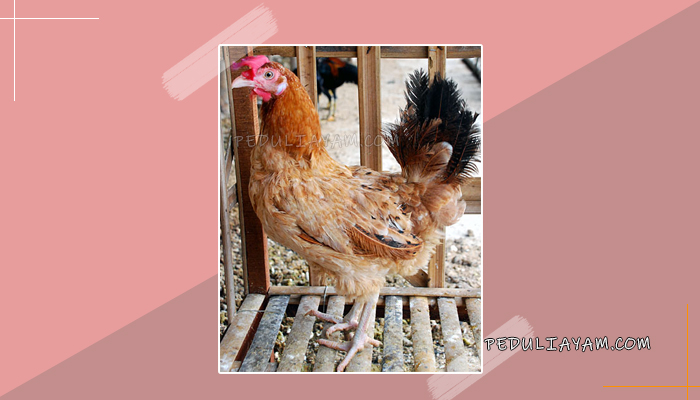 Mari Mengenal Ayam Petelur Elba Yang Unik