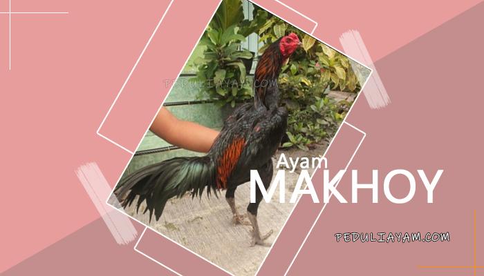 Mengenal Ayam Makhoy