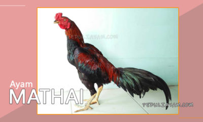 Mengenal Ayam Mathai