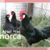 Mengenal Ayam Minorca Yang Katanya Ras Paling Tua
