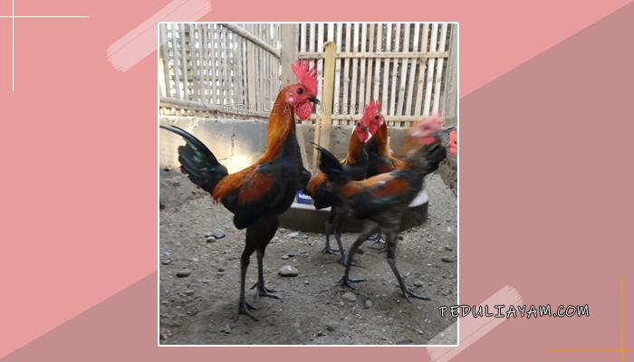 Mengenal Ayam hias Modern Game Asal Inggris
