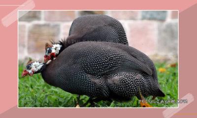 Mengenal Ayam Mutiara Hias Di Indonesia