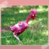 Mengenal Ayam Botak Asal Negara Israel