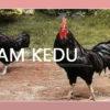 Mengenal Ayam Kedu, Ayam Hias Asal Indonesia