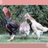Mari Mengenal Ayam Hias Unik Yamato Gunkei
