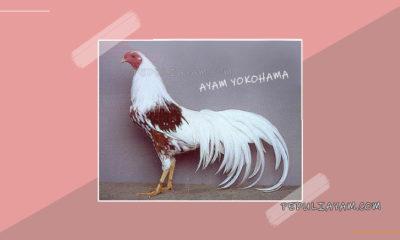 Mengenal Ayam Yokohama Hias Ras Ekor Panjang