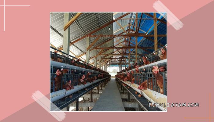 Prospek Usaha Ternak Ayam Bangkok