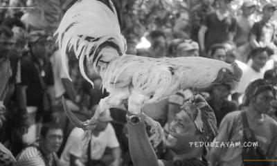 Pro Dan Kontra Penggunaan Pisau Taji Untuk Laga Ayam