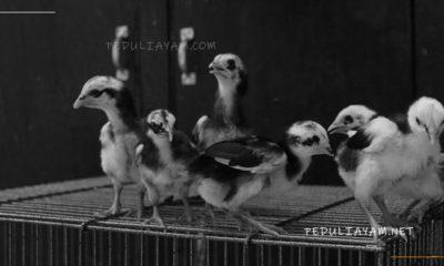 Tips Memilih Anak Ayam Bangkok F1