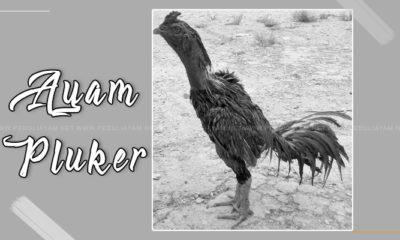 Mengenal Ayam Plucker, Ayam Jenis Baru Di Indonesia