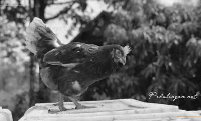 Ini Ciri Ayam Pullet Berkualitas Dari Bapak Subakti
