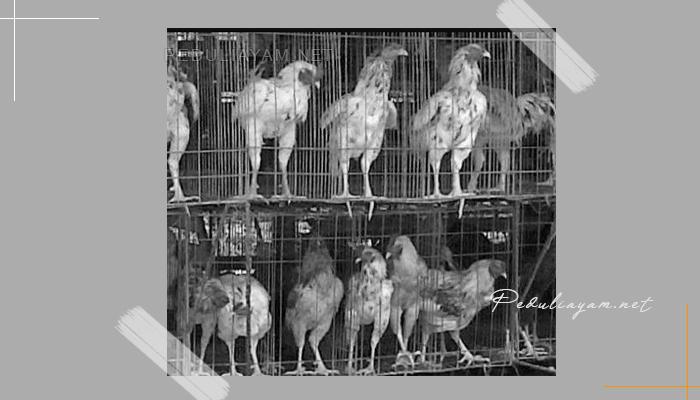 Mengenal Ayam Sentul Asli Indonesia
