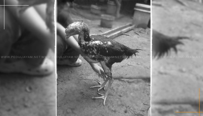 Ayam Aduan Sulit Gemuk? Mungkin Ini Alasannya!